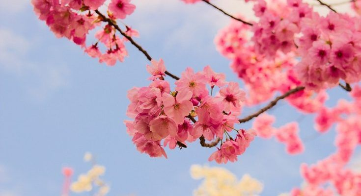 Sakura Is The Japanese Word For Cherry Blossom They Are Most Certainly One Of The Most Beautiful Tree Sakura Flower Japanese Cherry Blossom Beautiful Flowers