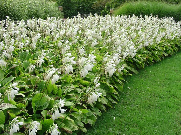 """A glorious bed of 'Royal Standard' hosta blooms their heads off from mid-August into September.  Old time favorite - patented and introduced in 1965 by Wayside Gardens. White flowers rise 24"""" on leafy scapes in August and are pleasantly fragrant."""
