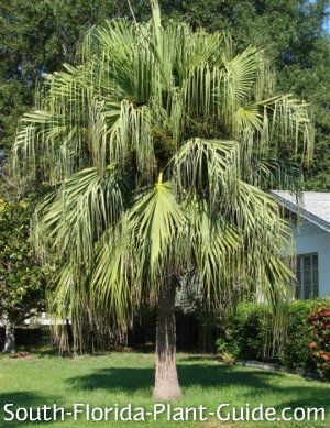 The hardy nature and lush look of the Chinese fan palm makes it a South Florida landscape favorite. Read all about it!