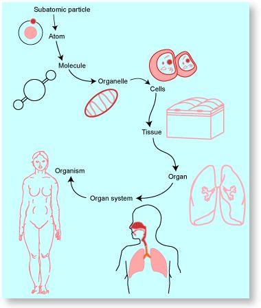 9 best Cells, Tissues, Organs.... images on Pinterest   Human body ...