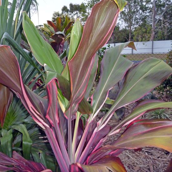 Cordylines Kilauea