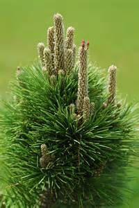 Hey, I found this really awesome Etsy listing at https://www.etsy.com/listing/179719043/dwarf-black-pine-pre-bonsai-shohin