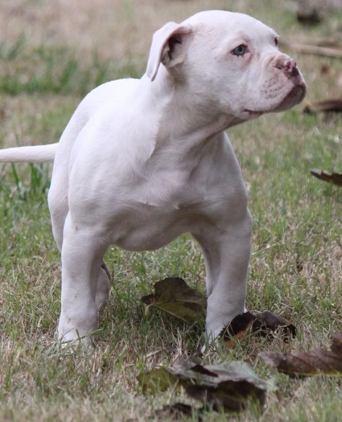 Bulldog Puppies For Sale Maralal Kenya