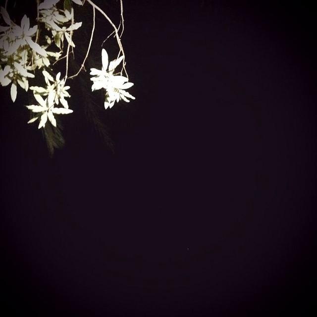white flowers, black background
