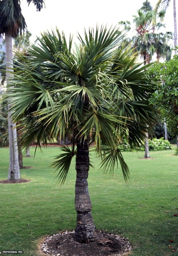 Dwarf Palmetto Sabal Minor Tropical Landscaping