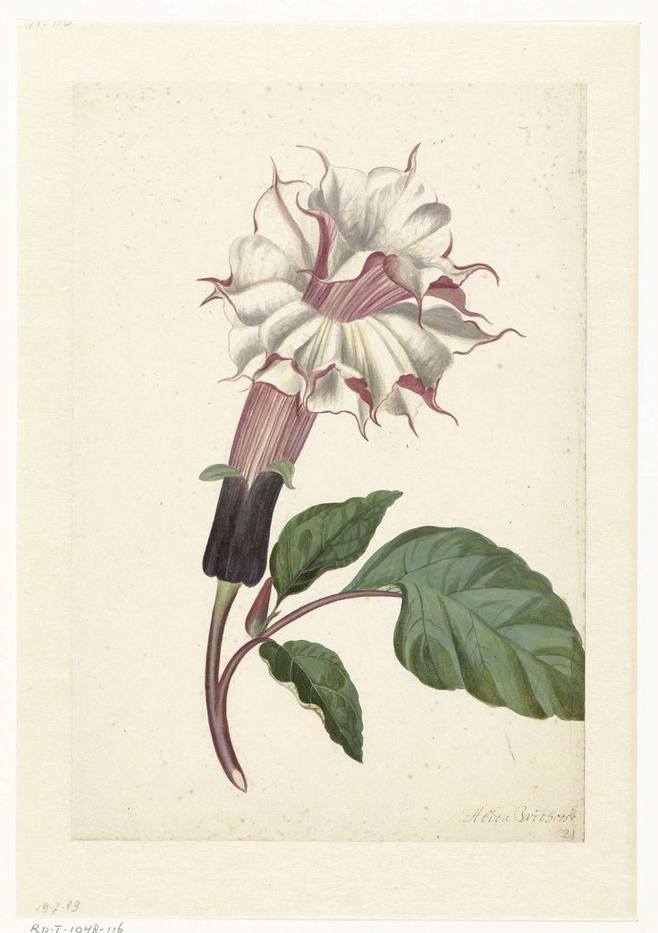 Plant Datura Fastuosa Lin., Alida Withoos, 1670 - 1715