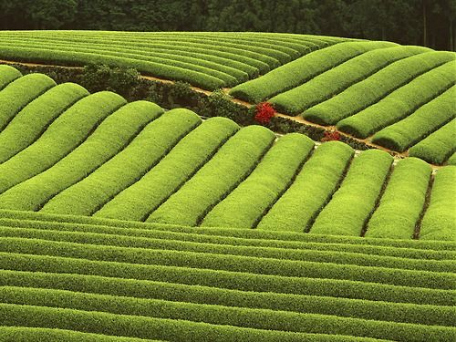 harvestheart:    Tea Plantation