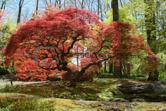 35 best images about arboles trees on pinterest - Decorative trees with red leaves amazing contrasts ...