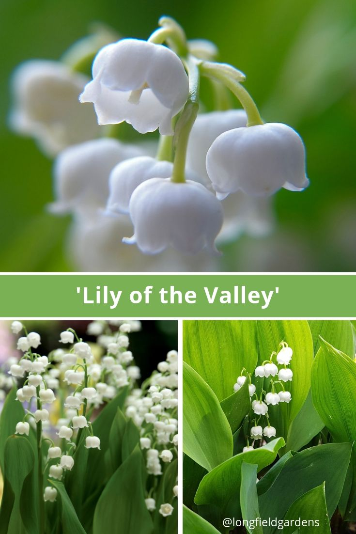 Lily Of The Valley Has One Of The World S Most Unforgettable Fragrances The Waxy Little Bells Dangle From St Flower Garden Fragrant Flowers Lily Of The Valley