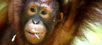 Havskildpadder & Orangutanger, familierejser til borneo - malaysia eksperten