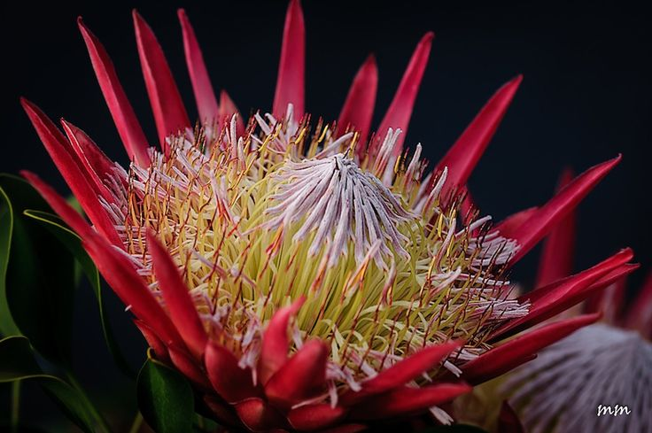 """King Protea or Grootsuikerkan"" - Google Search"