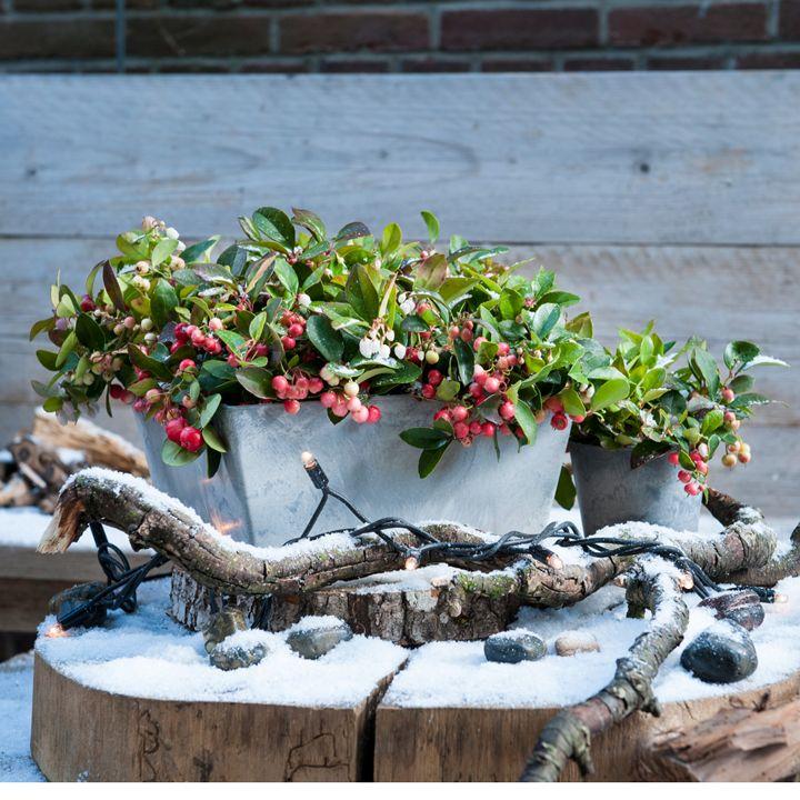 Breng de kerst in je tuin #bergthee #intratuin