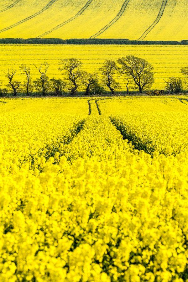 Oil Seed Rape Fields, England