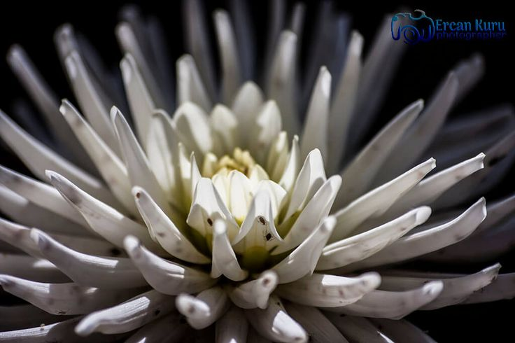 Beyazlar içinde... http://www.ercankuru.com.tr/project/cicek-bahcesi/   #çiçek  #flower  #çiçekler  #flowers  #çiçekbahçesi  #flowergarden  #çiçekçi  #florist  #makro  #macro  #beyaz  #white  #beyazçiçek  #whiteflower