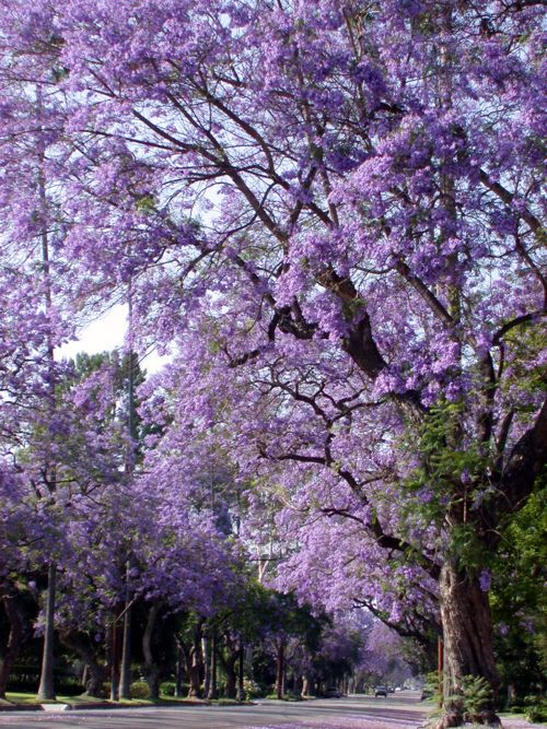 1000+ images about Jacaranda Trees ~ My Favorite because ...