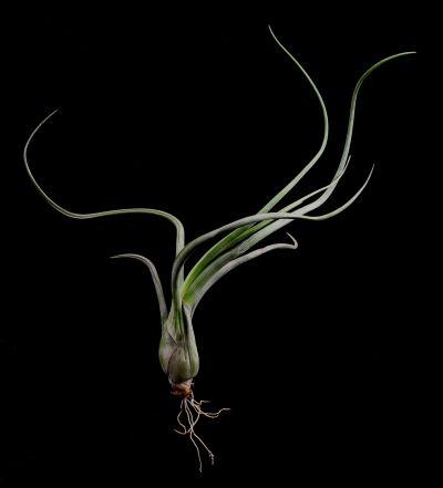Tillandsia pseudobaileyi-Plant Oddities