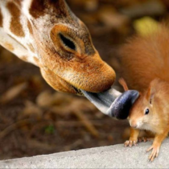 : A Kiss, Sweet, Squirrels, True Love, Pictures, Animal Friends, Funny Animal, Animal Photos, Giraffes