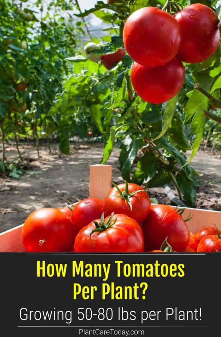 How Many Tomatoes Per Plant Growing 50 80 Lbs Per Plant In 2021 Tomato Growing Food Garden Veggies