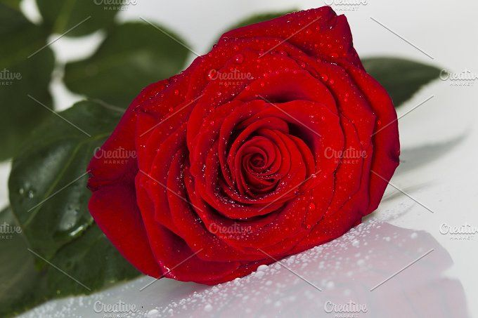 Red rose with water drops on a white background by oleghz on @creativemarket