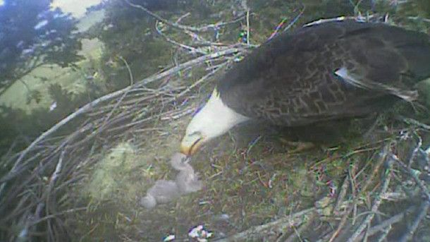 Humboldt Bay Eagle Cam lets you view a nesting pair as they gather their eggs, hatch chicks, then raise the young birds. The eagles are in Humboldt Bay area of California, so daylight hours are Pacific time. Warning: watching these guys on the live, real-time eagle cam is so addictive!