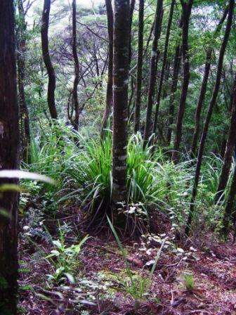 Kauri Tanekaha Forest