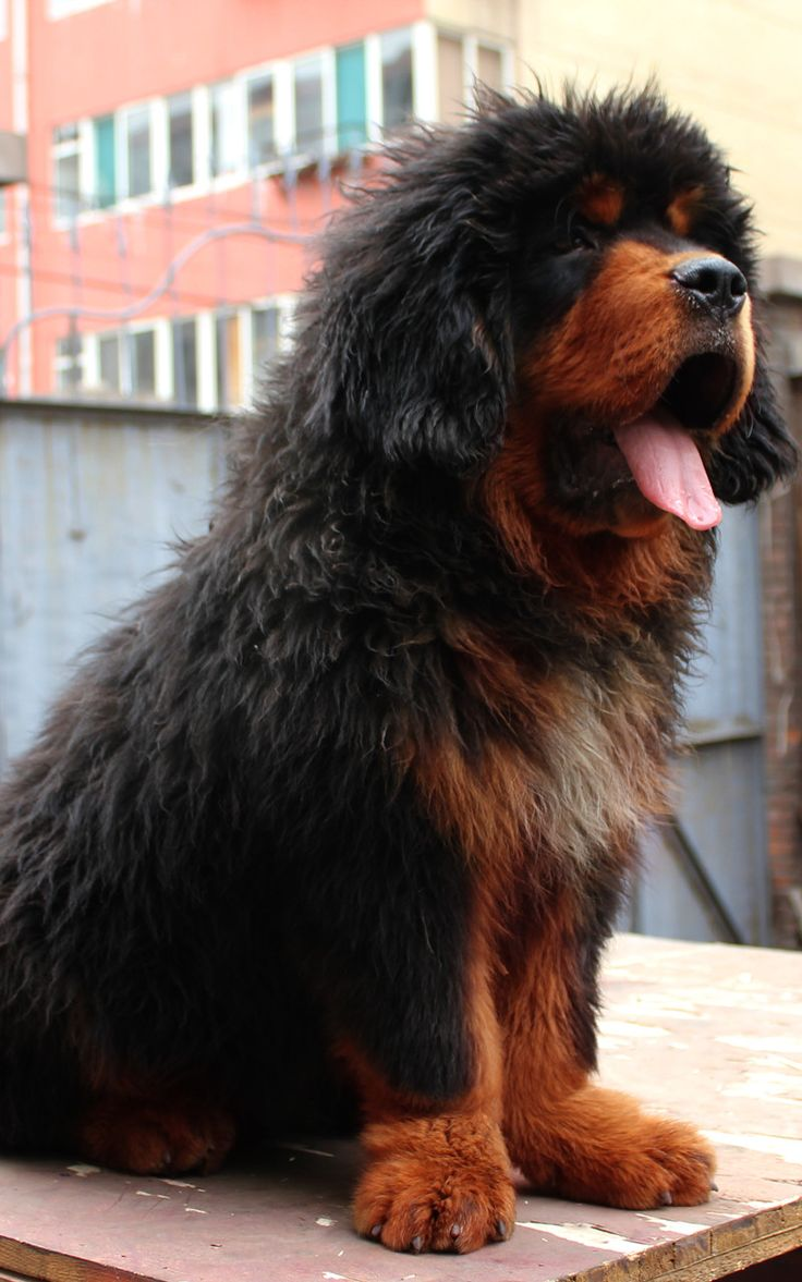 tibetan mastiff | Red mastiff Tibetan mastiff breed. With a swift and fierce, brave ...