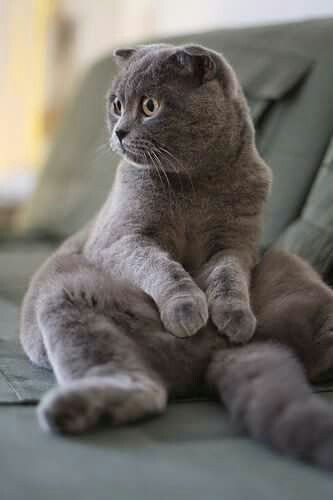 I don't care the color, as long as it's a Scottish fold with giant eyes
