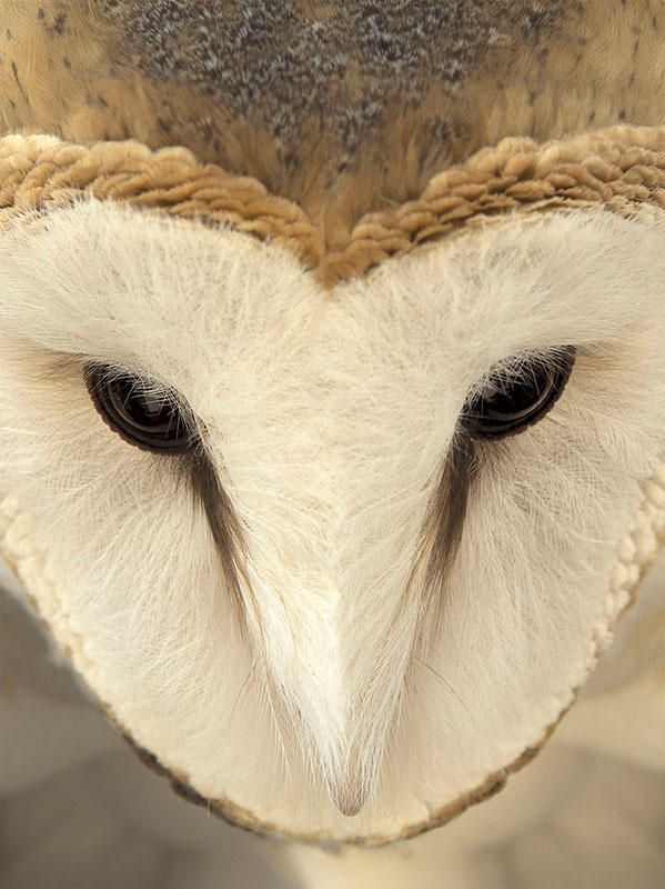 Chouette Effraie // Barn Owl - 2015 Audubon Photography Awards Top 100 -