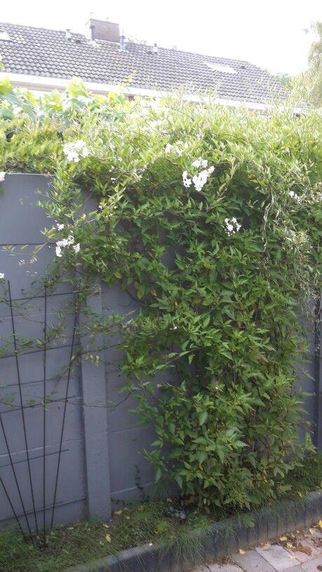 Jammer genoeg bloeien de bloemen alleen maar bovenaan. Ik heb er maar een rek naast gezet. De schutting hebben we grijs geverfd. Dit stond er al toen we het kochten.