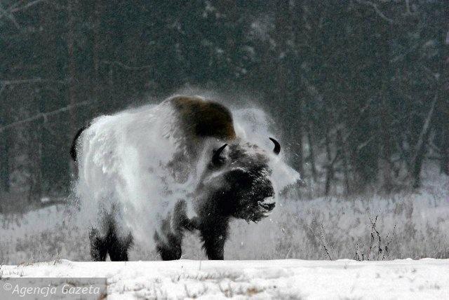 Fotosafari Wajraka - oko w oko z dzikim zwierzem. Żubr/bison