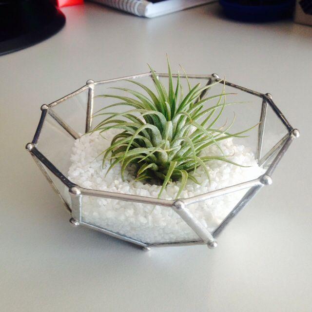 aerial plant/ terratium