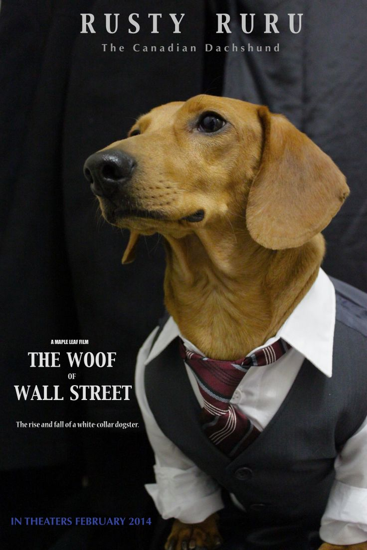 "The ""Woof"" of Wall Street.  Rusty RuRu the Canadian Dachshund as the""Woof"" of Wall Street.The rise and fall of a white collar dogster. ...See More"