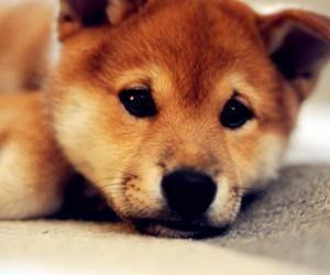 摘要:柴犬在日本及台灣擁有非常高人氣,雖然是獵犬,不過對主人很忠心,個性又溫和,在很多電影都會以柴犬為主角,不過除了電影中及生活上的認識以外,你對柴犬瞭解多少呢?跟著小編一起來看看吧!  一、柴犬品種及歷史來源  1、日本飼養率高  柴犬(英語:Shiba-Inu)在日文中意即「灌木叢狗」,屬小型犬。柴犬是古老的日本狗種。雄性身體長38至41公分,屬於小型狗種。  小百科:早期專門捕捉一些小型動物,在日本是很常見、飼養率又很高的犬種,在日本遍佈的機率僅次於長毛臘腸狗。在亞洲其他國家也是有許多人在養柴犬。  2、擁有日本特質...  點我看詳文:http://www.momgoe.com/article2440.html 一、柴犬品種及歷史來源  1、日本飼養率高  柴犬(英語:Shiba-Inu)在日文中意即「...