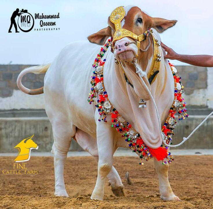 Biggest Bull on Eid ul Adha 2015