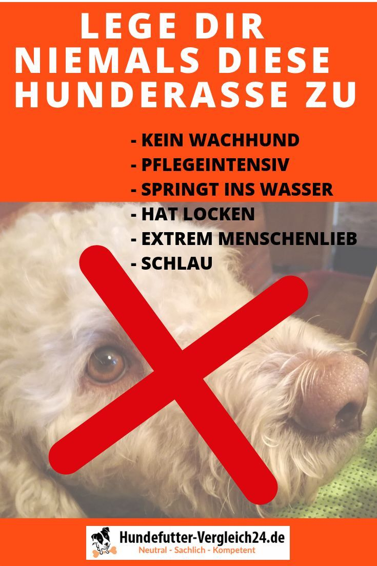 Lagotto Romagnolo Charmant Charismatisch Aussergewohnlich Hundefutter Vergleich24 De Hunde Futter Hundefutter Hundewelpen