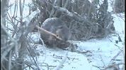 The beaver works as a keystone species in an ecosystem by creating wetlands that are used by many other species. Next to humans no other extant animal species appears to do more to alter the shape of its landscape. http://ift.tt/1MfVhjK