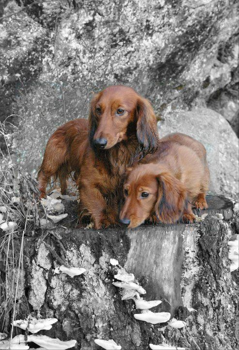 ..two red long hair dachshunds