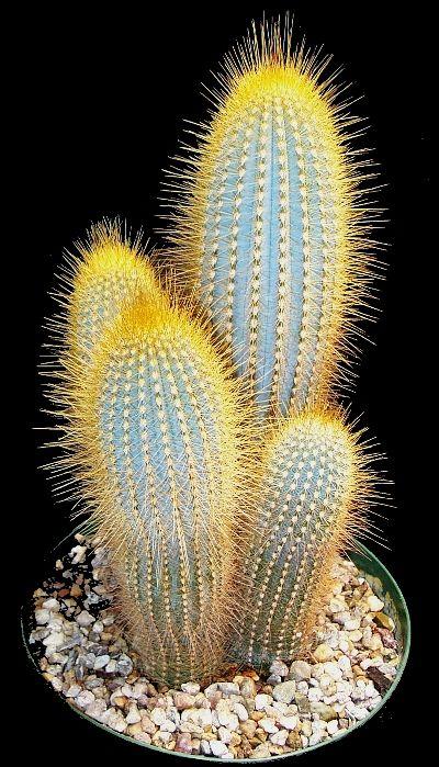 Micranthocereus es un género de plantas cactus de la familia Cactaceae. Es nativo de Brasil y contiene 9 especies.