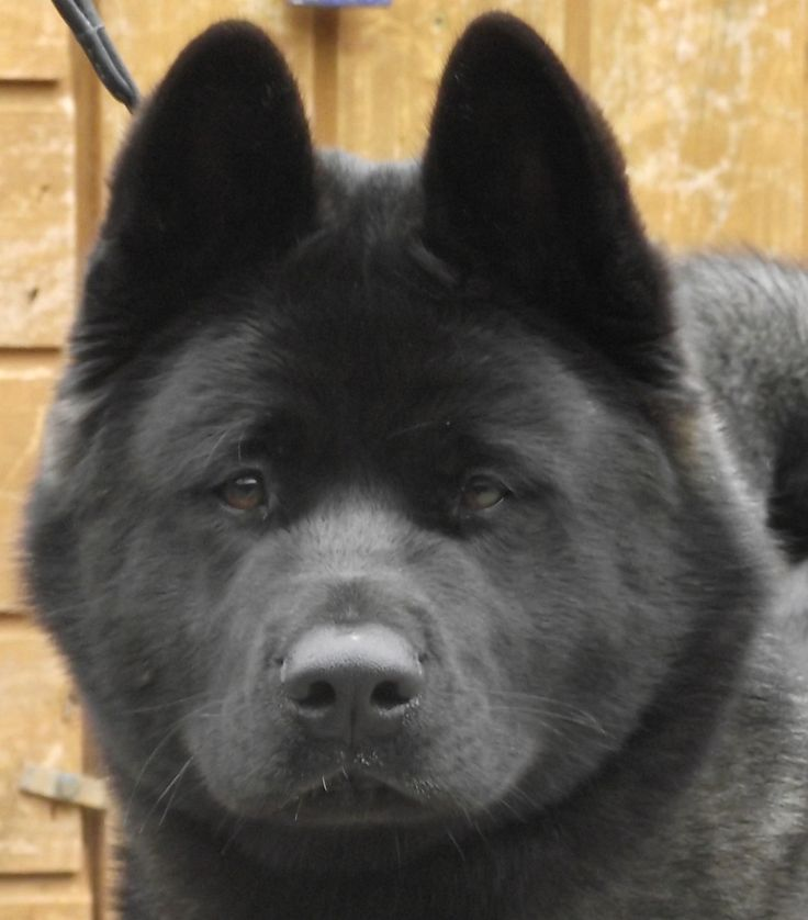 akita asian personals Tokyo presented putin with a female akita four years ago as a  dream' in japanese  strained for decades over the territorial row dating back to.