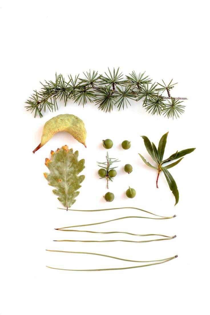 paleta- verde claro y verde oscuro con un poco de rojo, marrón y naranja—diría él— salvia, oliva, seco, pasto, pistacho, paja, un toque de marsala en unos tallos, ceniza en otros y mandarina con una pizca de toscana para las puntas—diría ella— especie: tallos de cedro del Líbano Cedrus libani, agalla de cornicabra Pistacia terebinthus, frutos y rama de enebro Juniperus oxycedrus, hoja de roble melojo Quercus pyrenaica y agujas de pino piñonero Pinus pinea recolección: Sierra Madrona...