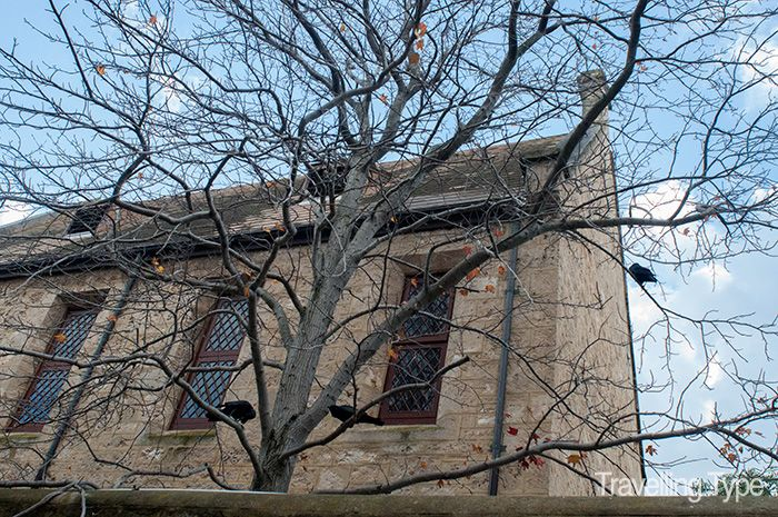 Crows perched on deciduous trees at the Fremantle Arts Centre, Western Australia - one of Australia's most haunted buildings.
