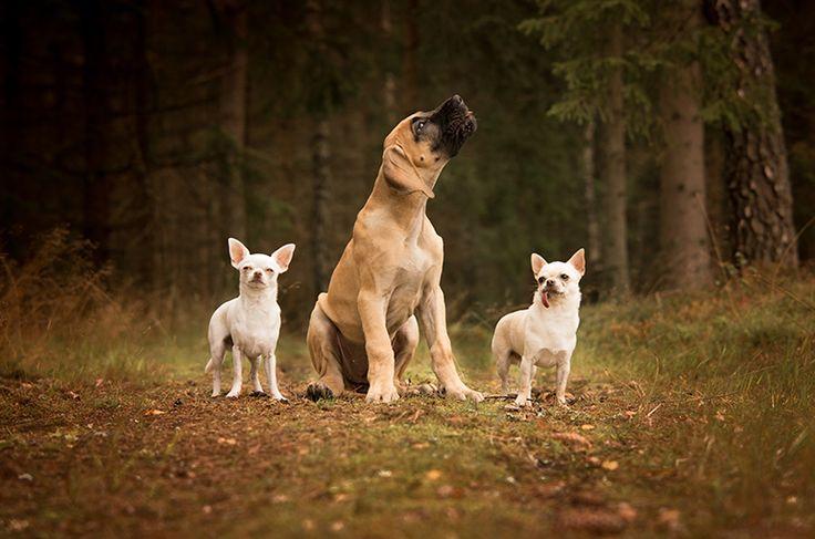 Dog photography. Poses. Dog family photo. Grand Danois puppy. White Chihuahua. Forest. Swedish nature. By Swedish photographer Maria Lindberg.