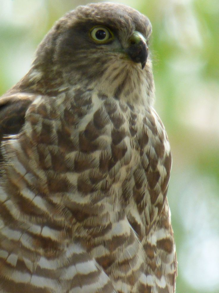 Brown Sparrow Hawk.....making itself at home in the neighbourhood...Jan 2015