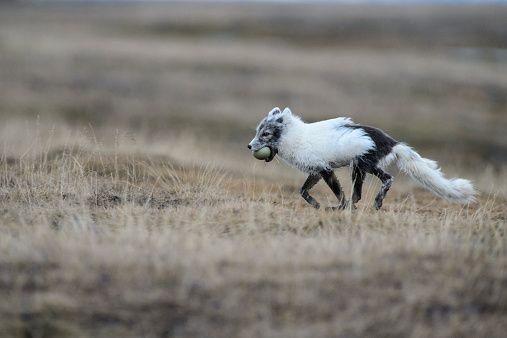 nunavut snow goose hunting