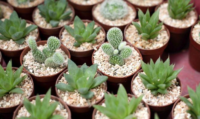 Cómo hacer un jardín en miniatura con plantas crasas