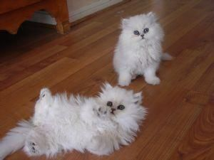 Teacup persian kitties Google Image Result for http://images04.olx.com/ui/1/85/03/2178203_1.jpg