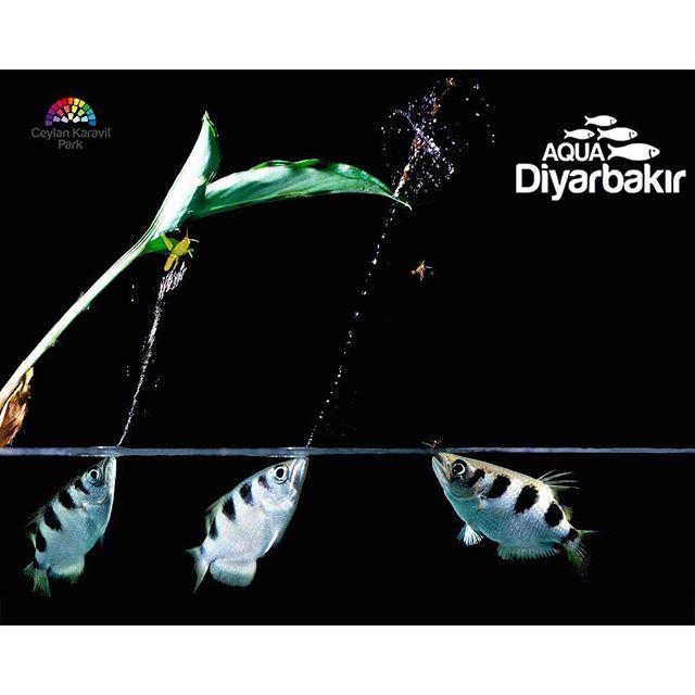 【aqua_diyarbakir】さんのInstagramをピンしています。 《🏹🐠 OKÇU BALİKLARİ 🐠🏹. Suyun dışındaki avlarını su tükürerek düşmesini sağlayarak avlar. 😉Latince Toxotes jaculatrix, ingilizce archer fish diye bilinir. Yaşam alanları Avustralya ve Güney Asya'dır. Tropikal diğer balıklar gibi 25-30 derece arası yüksek su ısısına ihtiyacı vardır. Doğal hayatında nehirlerin denizlere dökülen bölgelerinde yaşadığından acı su balığı olarak nitelendirilir. Akvaryumda yaşatabilmek için litre başına 2 gram kaya tuzu…