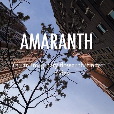 Amaranth |ˈaməˌranTH| mid 16th century origin from French amarante or modern Latin amaranthus, alteration (on the pattern of plant names ending in -anthus, from Greek anthos 'flower') of Latin amarantus,from Greek amarantos 'everlasting,' from a- 'not' + marainein 'wither.' #beautifulwords #wordoftheday #Cherryblossom #Spring #Seoul #집앞 #perspective