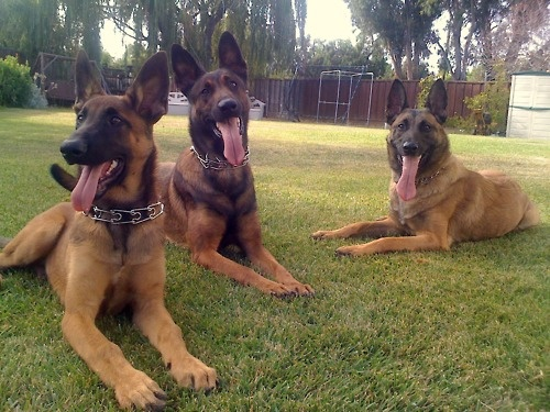 Belgian Shepherd Malinois- what I want to sit in my backyard one day.. Yes, all three!