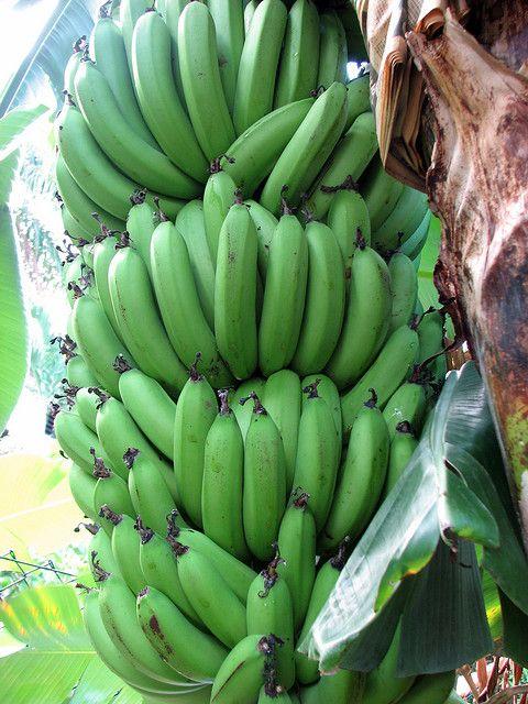 "Bananas ""on the hoof."""